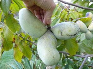pawpaw-fruit-on-tree