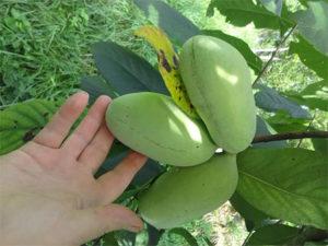pawpaw-fruit-photo-courtesy-England's-Orchard-Sand-Gap,-KY