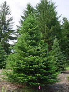 Canaan fir tree