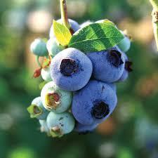 blueberry chandler